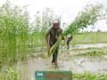 ঝিনাইদহ জেলা জুড়ে পাটের বাম্পার ফলন : কৃষকের মুখে হাসি