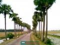 টাঙ্গাইলের মির্জাপুরে একযোগে ৫ লাখ তালগাছ রোপন