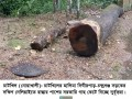 চাটখিলে রাস্তার পাশের সরকারি গাছ কেটে নিচ্ছে দুর্বৃত্তরা